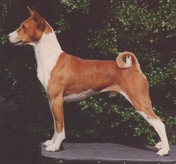 breed information willamette valley basenji club